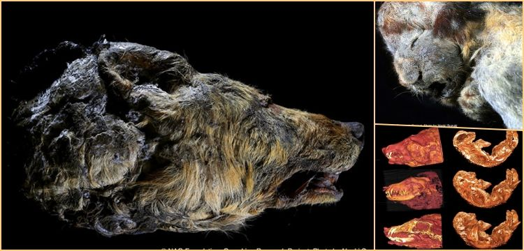 30.000 years old lion cub and wolf head found at the Siberia