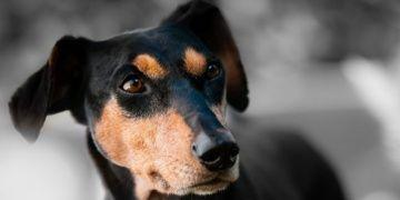 Kurtlarda olmayan kaş kasları köpeklerde evcilleştiği için gelişmiş