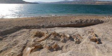 Kayserideki kazılarda 7,5 milyon yıllık zürafa fosili bulundu