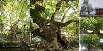 Anıt Ağaç olarak tescillenen 9.369 ağaç korumaya alındı