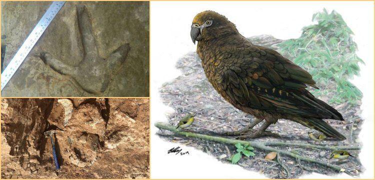 Yeni Zelanda'da dünyanın en büyük papağanın fosili bulundu