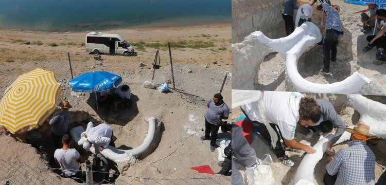 Kayseri'de bulunan 7,5 milyon yıllık fil fosili alçı ceket ile müzeye taşındı