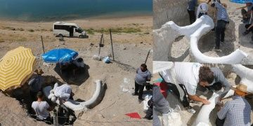 Kayseride bulunan 7,5 milyon yıllık fil fosili alçı ceket ile müzeye taşındı