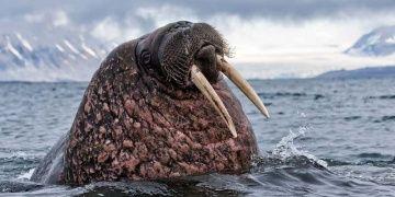 İzlandadaki Morsların soyunu Vikingler kurutmuş