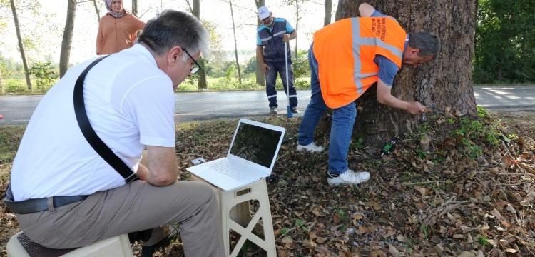 Kocaeli'deki asırlık anıt ağaçların röntgeni çekildi