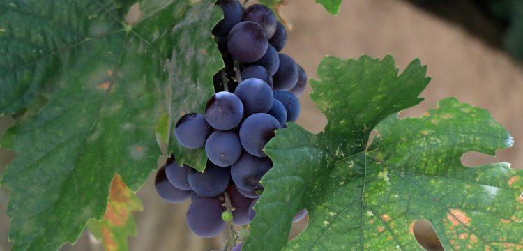 Gesi Bağları'nda artık korumaya alınan üzümler var
