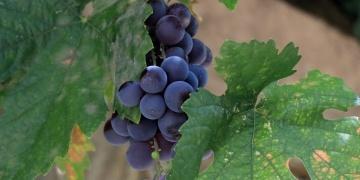 Gesi Bağlarında artık korumaya alınan üzümler var