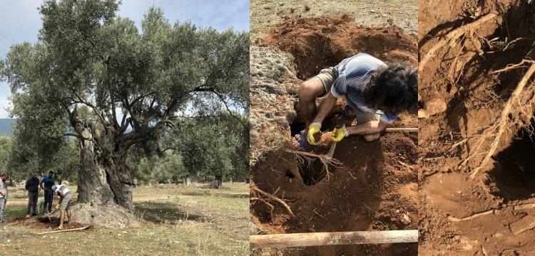 Ata Ağaç'ın Lüminesans tarihlendirme ile 3 bin yaşında olduğu anlaşıldı