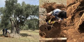 Ata Ağaçın Lüminesans tarihlendirme ile 3 bin yaşında olduğu anlaşıldı