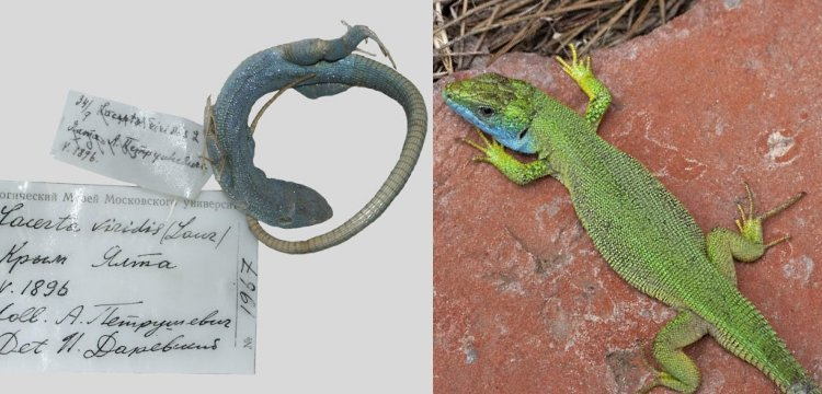 Mitochondrial DNA show Crimean lizard actually a species introduced from Italy.