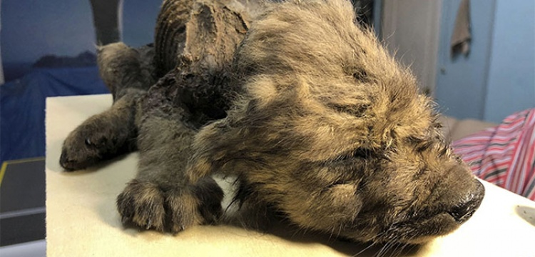 Well-preserved 18.000-year-old puppy or baby wolf found in Siberia