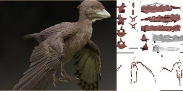 Fukuipteryx prima: 120 milyon yıl önce kuyruk sallayabilen bir kuş fosili
