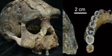 Homo Erectus fosilleri sanılan 300 yıl daha genç çıktı