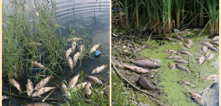 Göynük'teki baraj gölünde toplu balık ölümleri