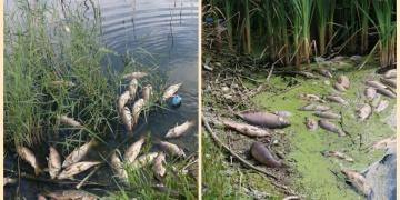 Göynükteki baraj gölünde toplu balık ölümleri