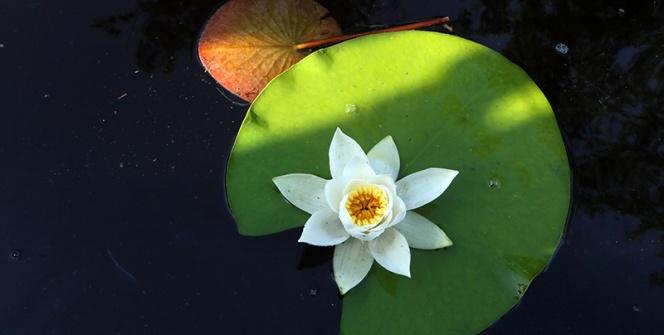 Kızılırmak Deltasında Lotus Şöleni