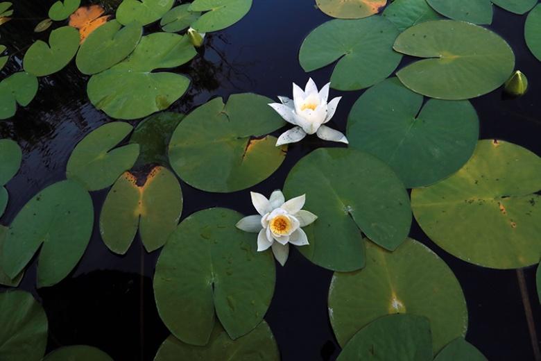 Kızılırmak Deltası'nda Lotus Şöleni