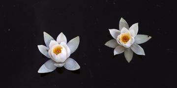 Kızılırmak Deltasında açan nilüfer çiçekleri görsel şölen sunuyor