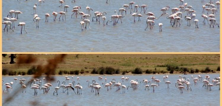 Enez lagün gölleri flamingoları ağırlıyor