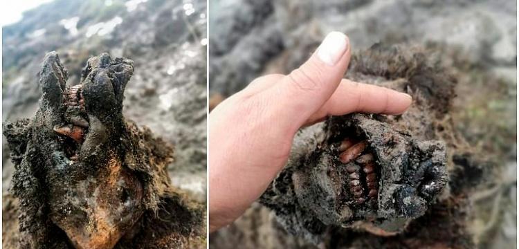 Rusya'da yaklaşık 30 bin yıllık mağara ayısı mumyalaşmış olarak bulundu