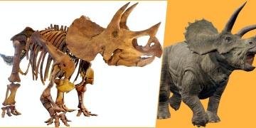 Yüzde 87si tamamlanan Triceratops fosili Melbournede sergilenecek