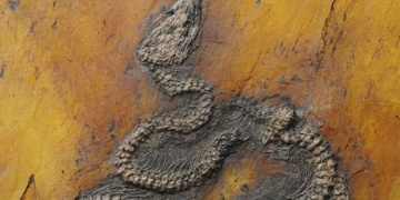 Almanyada 47 milyon yıllık Piton yılanı fosili bulundu