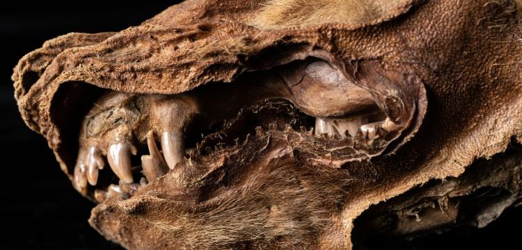 Kanada'da bulunan 57 bin yıllık kurt yavrusu fosiline Zhur adı verildi