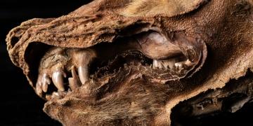 Kanadada bulunan 57 bin yıllık kurt yavrusu fosiline Zhur adı verildi